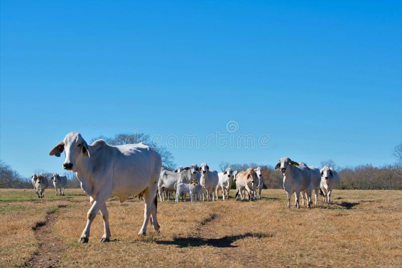 Rebanho de vaca do brâmane imagens de stock royalty free