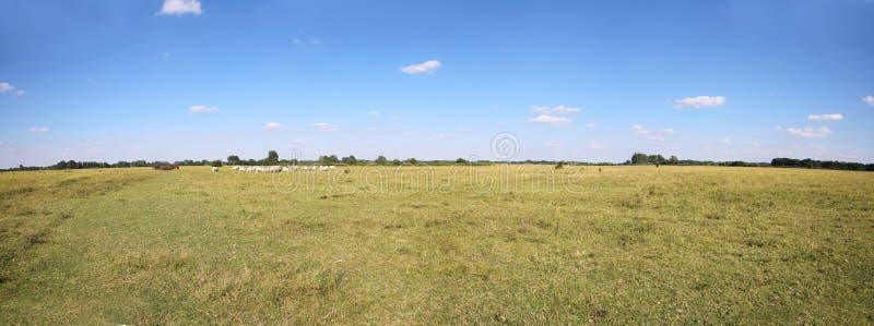 Rebanho de vacas cinzento do gado que pasta no puszta húngaro do deserto fotos de stock royalty free