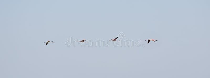 Rebanho de voo de quatro maiores flamingos dos pássaros grandes cor-de-rosa agradáveis, ruber de Phoenicopterus, com o céu azul c imagem de stock