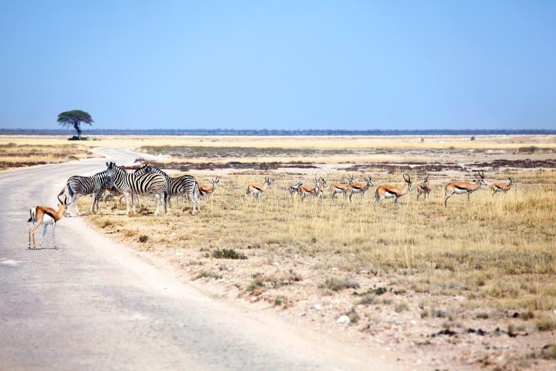 Rebanho de zebras dos animais selvagens e de antílopes da impala no campo na estrada no safari no parque nacional de Etosha, Namí foto de stock royalty free