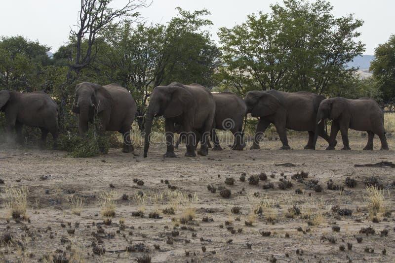 Rebanho Deserto-adaptado do elefante fotografia de stock royalty free