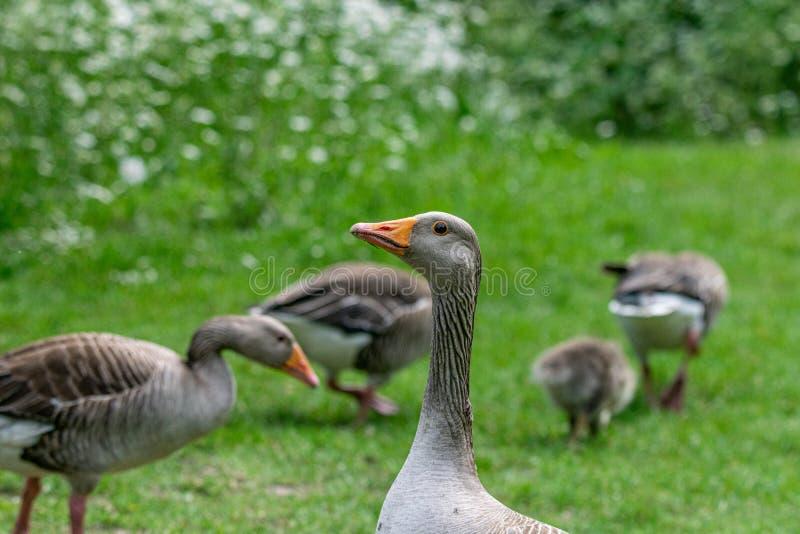 Rebanho do anser do anser dos gansos de pato bravo europeu e de ganso novos foto de stock