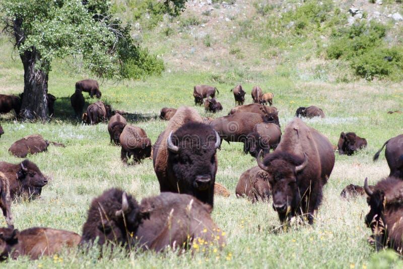 Rebanho do búfalo fotos de stock