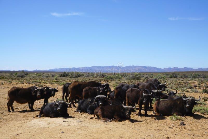 Rebanho do búfalo do africano negro que senta-se e que está no safari de África imagem de stock royalty free
