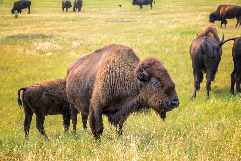 Rebanho do bisonte imagem de stock