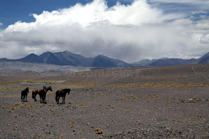 Rebanho do caballus chileno selvagem do ferus do Equus dos cavalos no terreno seco estéril em altiplanos do deserto de Atacama, o imagem de stock royalty free