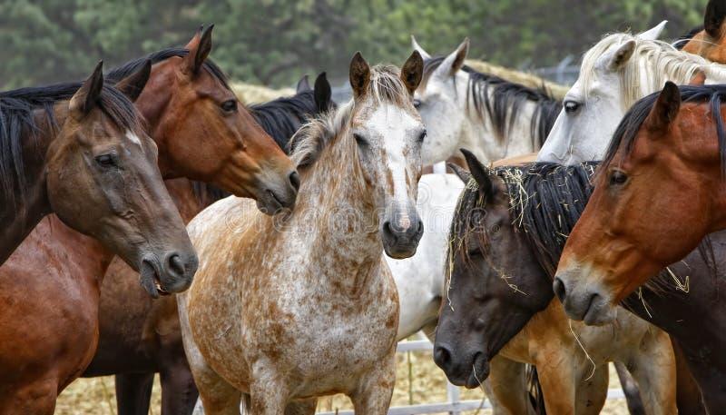 Rebanho do cavalo - centro de atenção fotos de stock