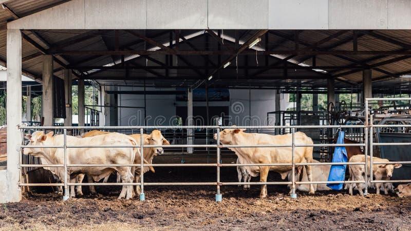 Rebanho do close-up das vacas em vacas tailandesas americanas do brâmane no estábulo na exploração agrícola de leiteria Ind?stria foto de stock