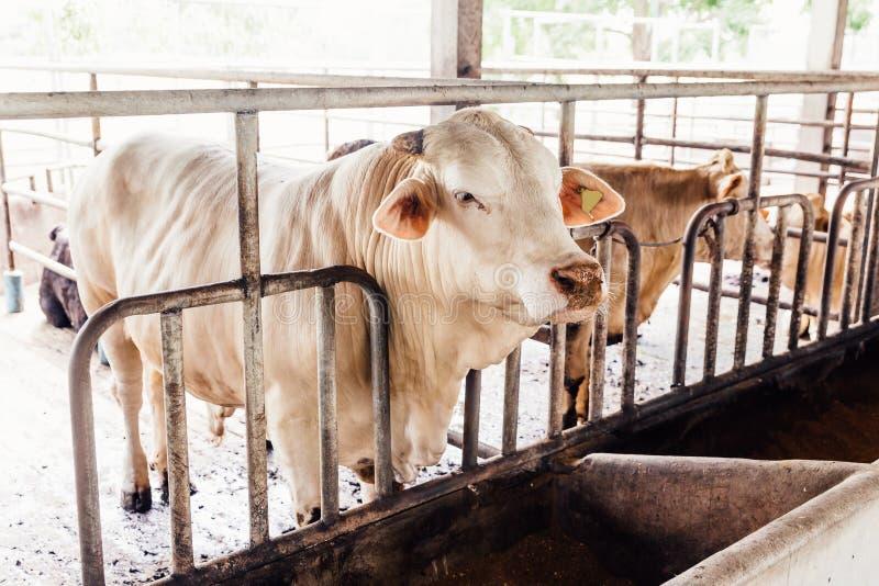 Rebanho do close-up das vacas nas vacas tailandesas americanas do brâmane que posição no estábulo na exploração agrícola de leite fotos de stock