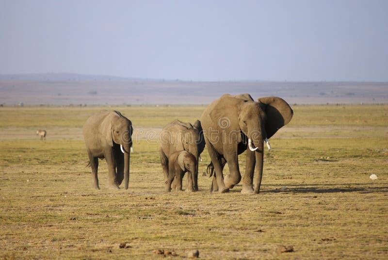 Rebanho do elefante fotografia de stock royalty free