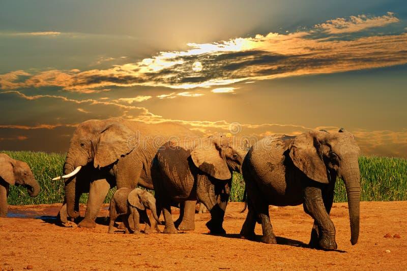 Rebanho do elefante africano, africana do Loxodonta, de idades diferentes andando longe do furo de água, Addo Elephant National P foto de stock