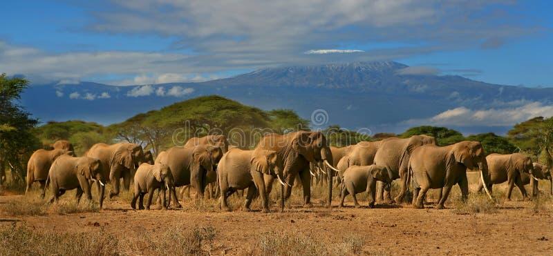 Rebanho do elefante de Kilimanjaro fotografia de stock royalty free