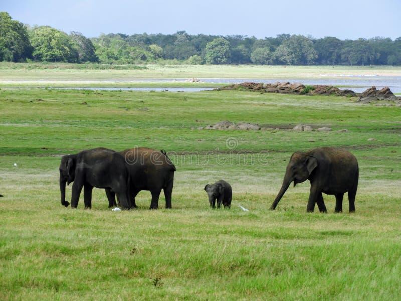 Rebanho do elefante em Sri Lanka foto de stock