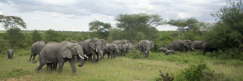 Rebanho do elefante na planície do serengeti fotos de stock