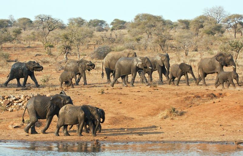 Rebanho do elefante que anda após um furo de água fotografia de stock