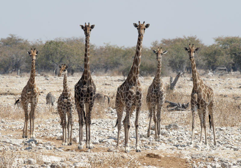 Rebanho do girafa foto de stock