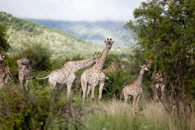 Rebanho do giraffe fotografia de stock