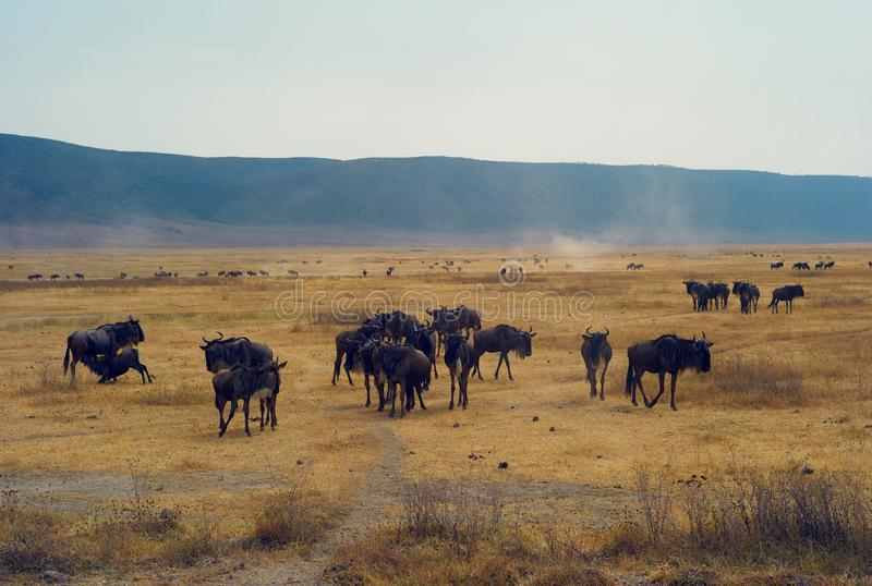 Rebanho do gnu na cratera de Ngorongoro, Tanzânia fotos de stock