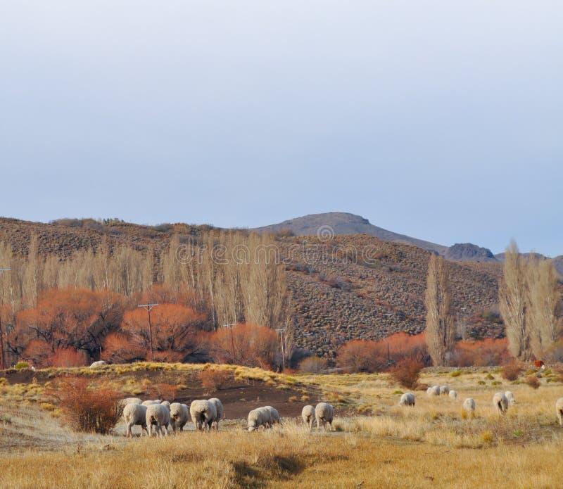 Rebanho do grazin dos carneiros na paisagem patagonian foto de stock