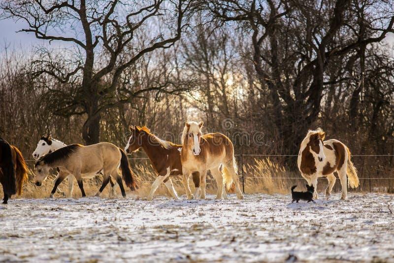 Rebanho do haflinger, da pintura e de cavalos marrons foto de stock