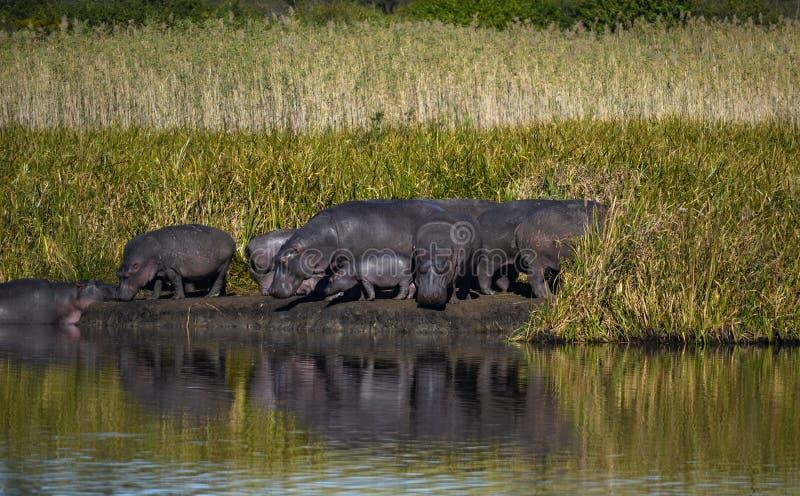 Rebanho do hipopótamo em África do Sul foto de stock