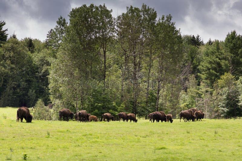 Rebanho do homem e de bisontes americanos fêmeas que pasta e que anda fotos de stock royalty free