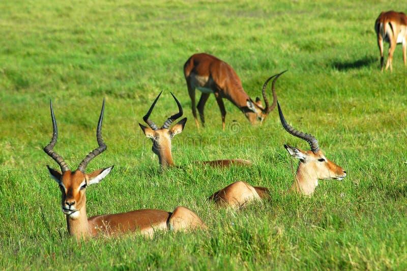 Rebanho do Impala imagens de stock royalty free