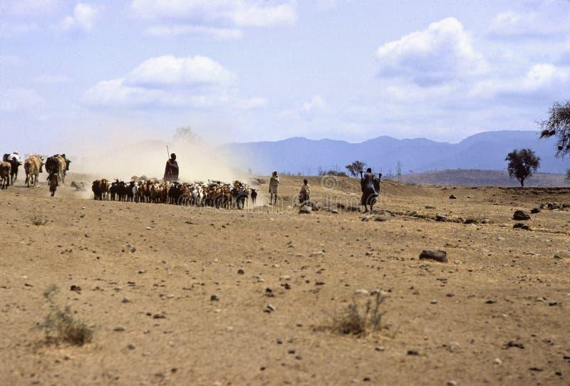 Rebanho do Masai imagens de stock