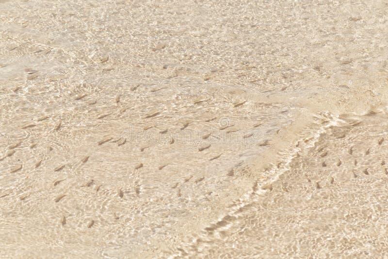 Rebanho do peixe frito na água pouco profunda Fundo da natureza As sombras dos peixinhos de rio que nadam na água pouco profunda  fotos de stock royalty free