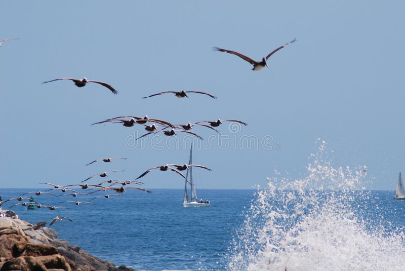 Rebanho do pelicano fotografia de stock royalty free