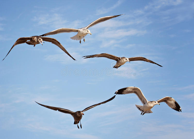 Rebanho do tiro macro das gaivotas na praia fotografia de stock
