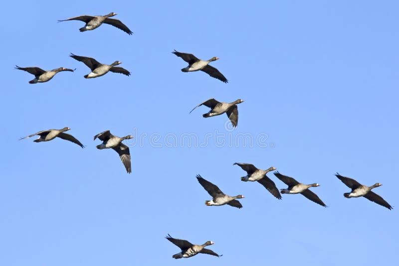 Rebanho do vôo de maiores gansos de peito branco foto de stock
