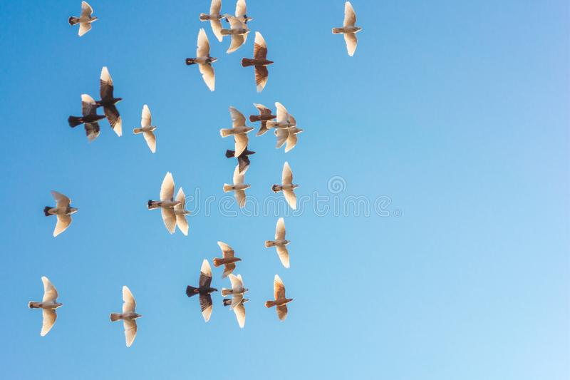 Rebanho do voo dos pombos disparados de um baixo ângulo, céu azul bonito, conceito da liberdade Rebanho do voo das pombas brancas fotos de stock royalty free