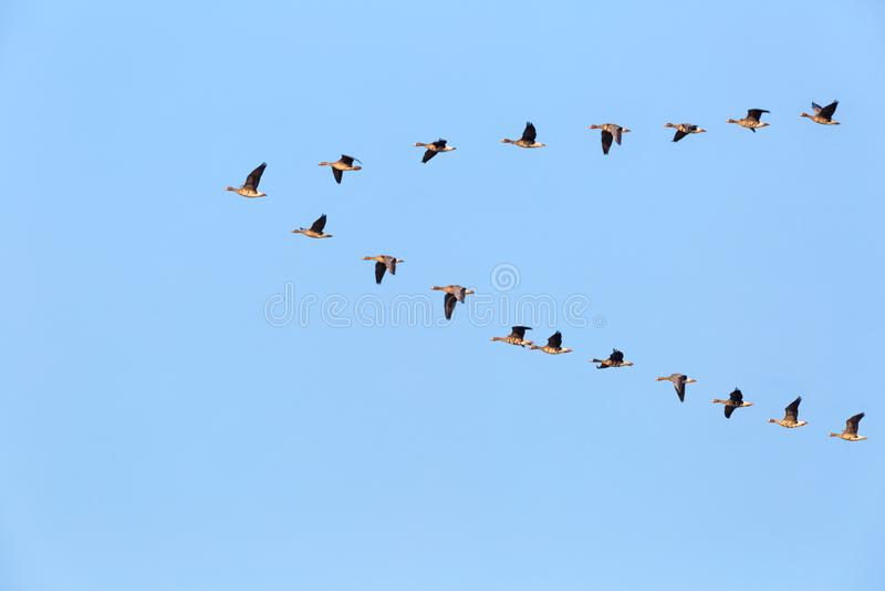 Rebanho do voo selvagem dos gansos imagens de stock royalty free