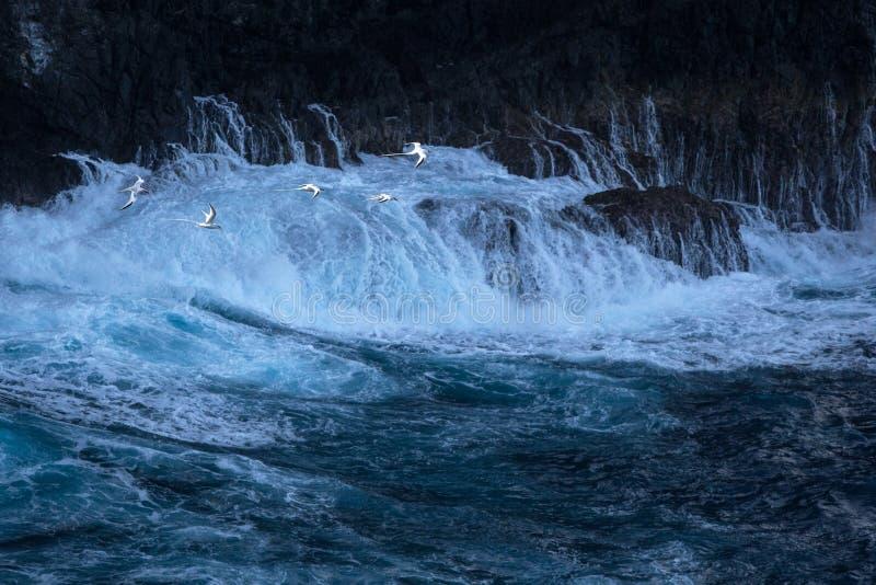 Rebanho do voo vermelho-faturado do aethereus do Phaethon de Tropicbird sobre o Oceano Pacífico perto da ilha de Tobago, pássaros imagens de stock