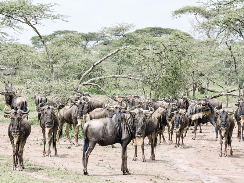 Rebanho do wildebeest imagens de stock royalty free