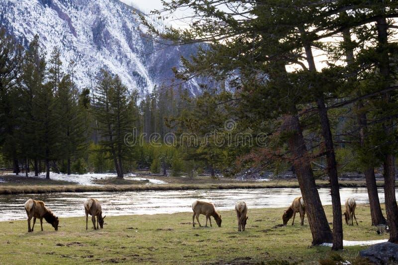 Rebanho dos alces no parque nacional de Yellowstone foto de stock royalty free