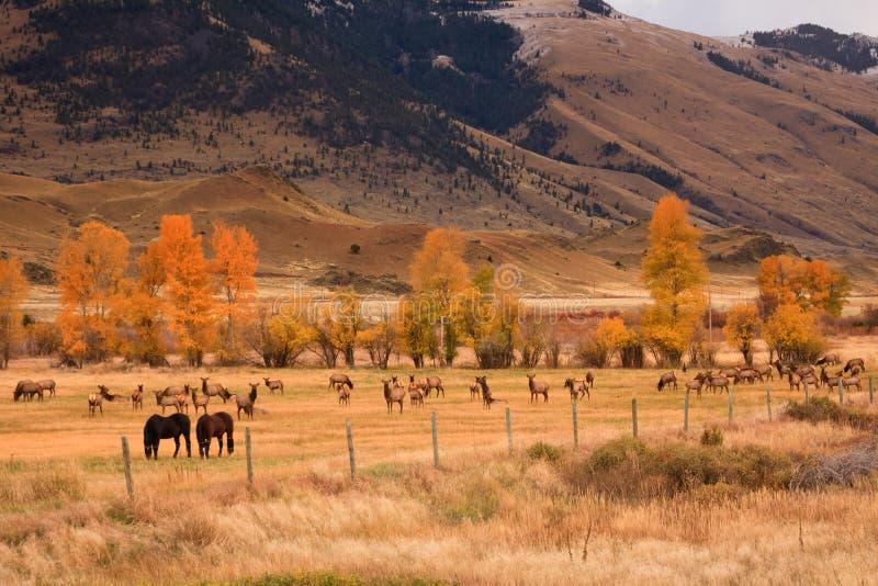 Rebanho dos alces que compartilham do campo com os cavalos imagem de stock royalty free