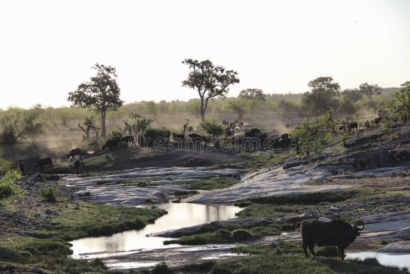 Rebanho dos búfalos que correm e que bebem por um rio, Kruger NP, África do Sul imagens de stock