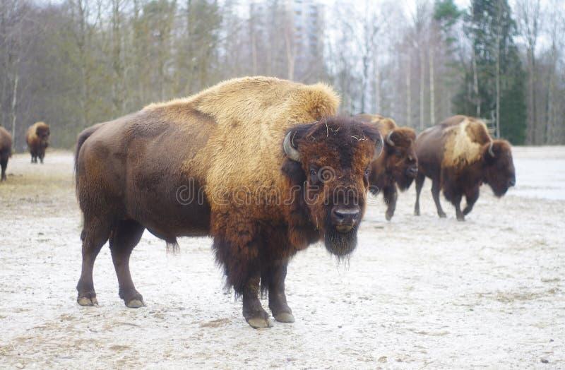 Rebanho dos bisontes mim e um homem do bisonte que olha a câmera imagens de stock