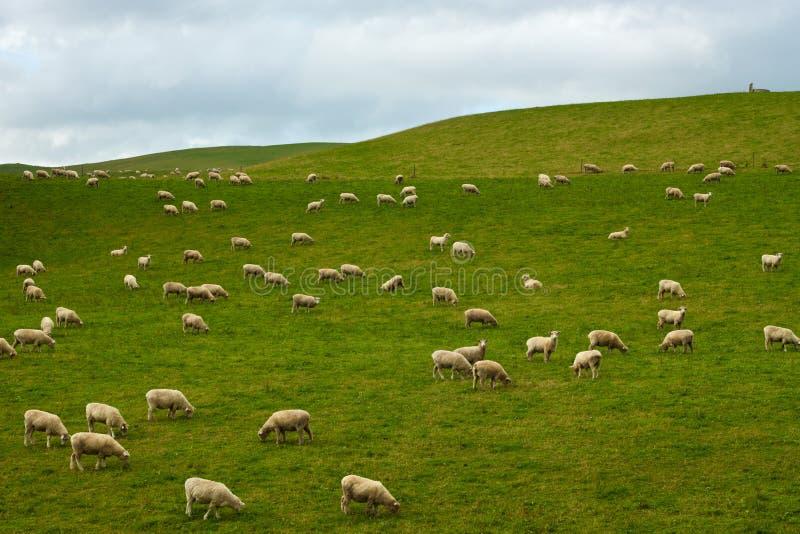 Rebanho dos carneiros fotos de stock royalty free