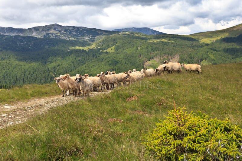 Rebanho dos carneiros imagem de stock