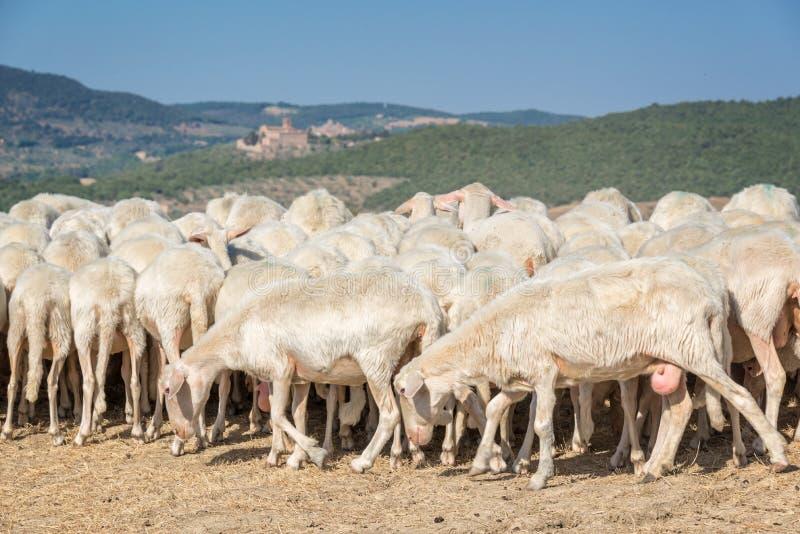 Rebanho dos carneiros em um campo secado no verão Itália fotografia de stock