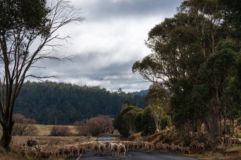 Rebanho dos carneiros na estrada imagens de stock royalty free