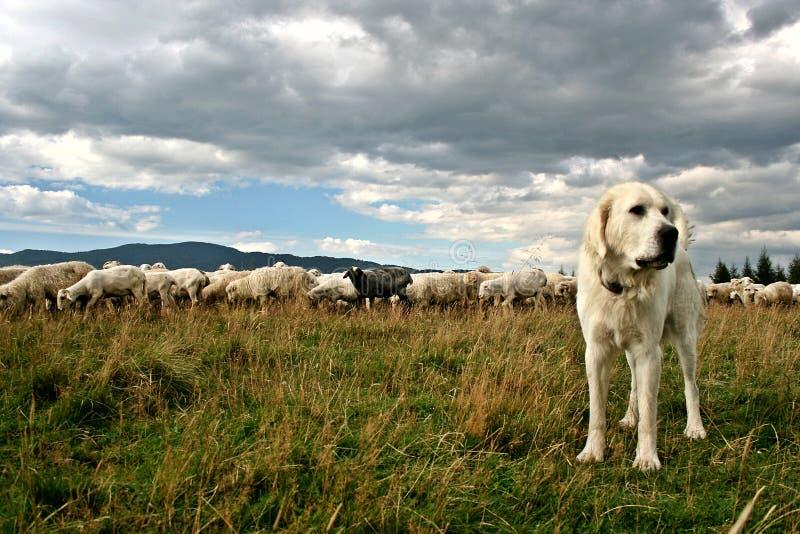 Rebanho dos carneiros no pasto bonito da montanha foto de stock royalty free