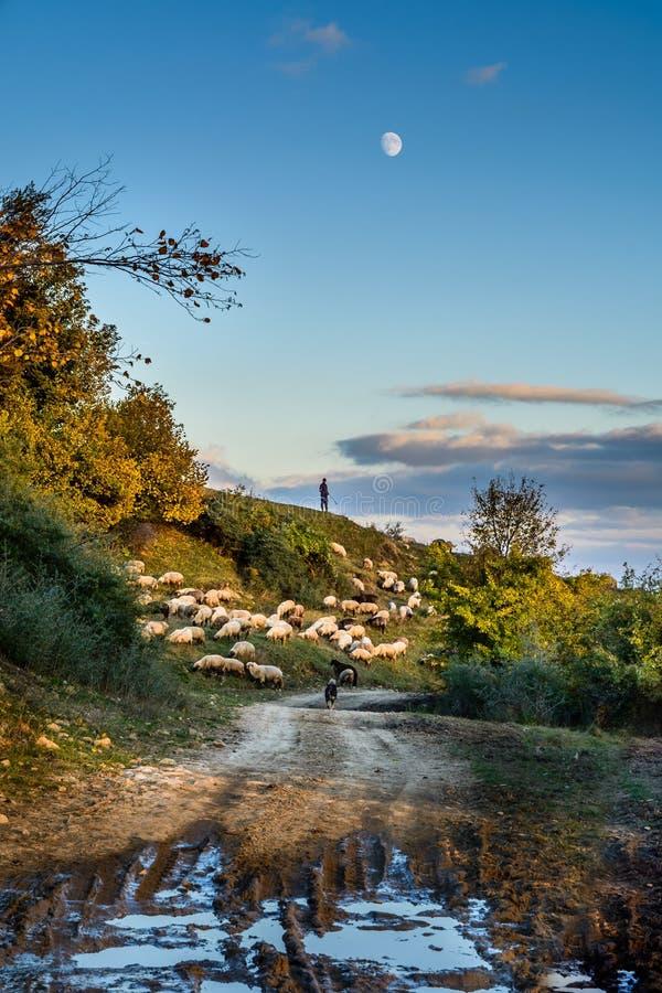 Rebanho dos carneiros no prado bonito da montanha Fundo com carneiros, as árvores outonais, grama verde, o céu azul, o pastor e o imagem de stock