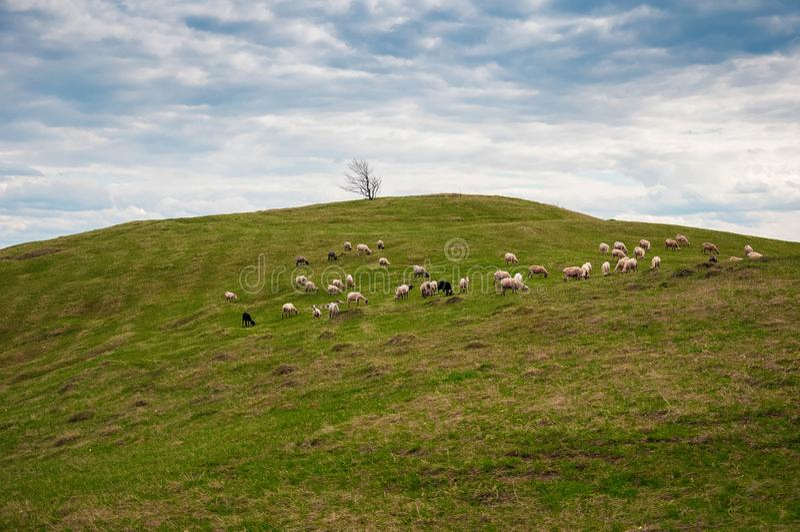 Rebanho dos carneiros nos carpathians fotos de stock royalty free