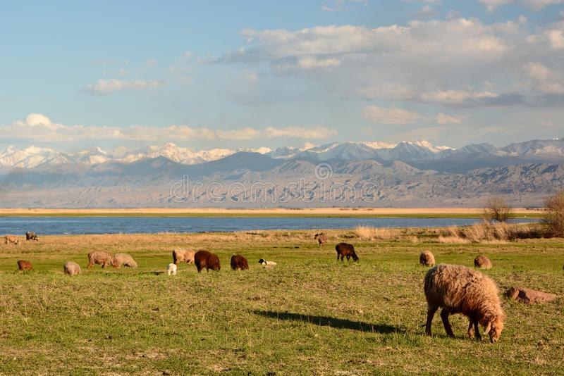 Rebanho dos carneiros perto do lago Issyk-Kul Balykchy kyrgyzstan fotografia de stock royalty free