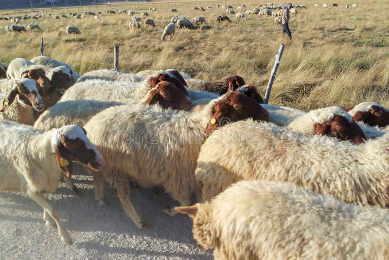 Rebanho dos carneiros que andam ao longo da borda da estrada imagem de stock