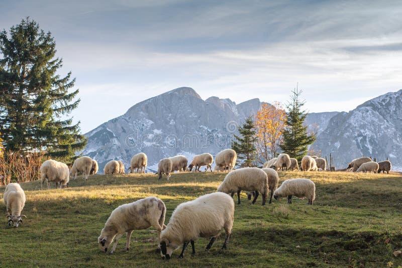 Rebanho dos carneiros que pastam fotografia de stock